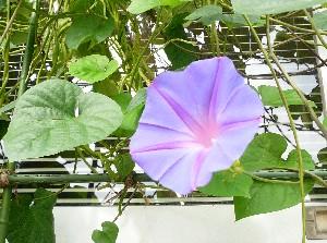 20080919asagao1.jpg