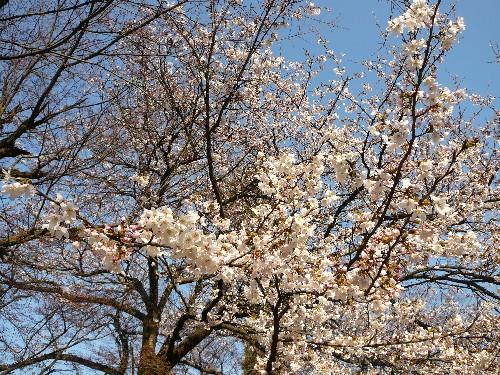20090407sakura1.jpg