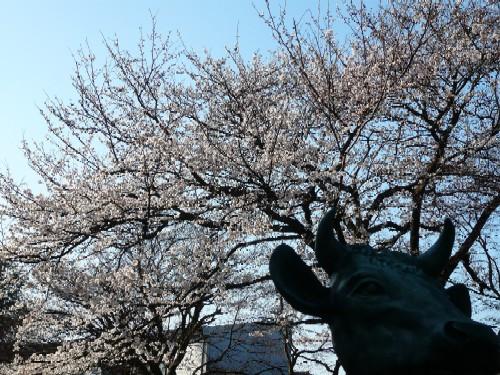 20090407sakura3.jpg